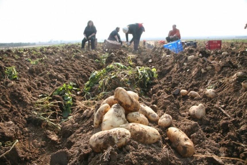 enisxysi-kalliergiton-patatas