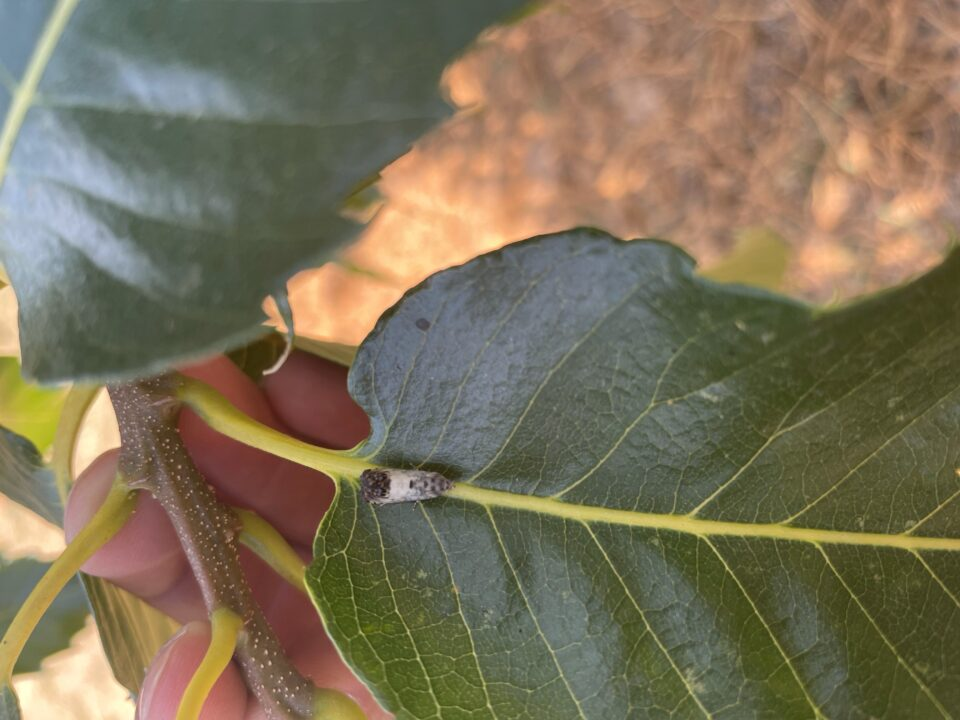 entoma-kastanias-boreia-kynouria